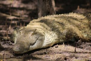 Krokodil in Saadani