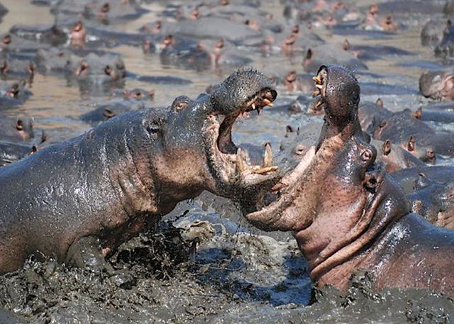 Katavi hippos fighting
