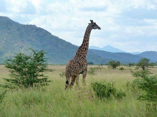 Mkomazi national park girafe