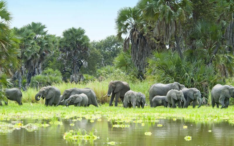 Selous elephants (2)